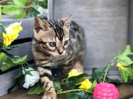Bengal Kittens TICA 1 **1 Girl left **