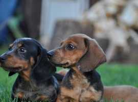 Dachshund Dogs & Puppies For Sale & Rehome in Scunthorpe