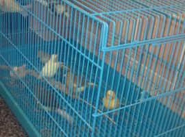 8 canaries mixed birds  £15 each