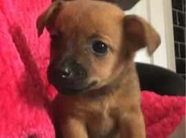 Miniature jack Russell puppy for sale