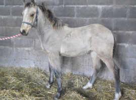 Gorgeous Welsh Section D Colt Foal