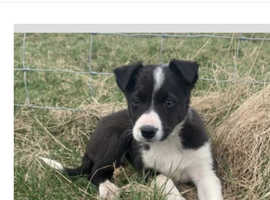 Really wanting to buy a border collie puppy, £1000 - £1200 max budget! Happy to travel any were UK FOR RIGHT ONE!