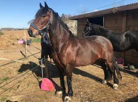 Stunning 15h Hackney x Cob Bay mare