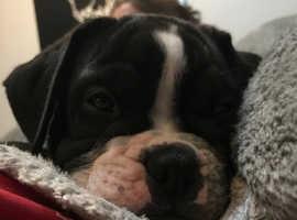 Last one!! Stunning old tyme bulldog puppy, ready now