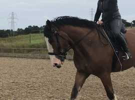 18h 4 year old registered gelding