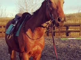 15.2hh TB mare