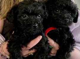 Cockapoo x  Yorkie (Yorkiepoo) pups