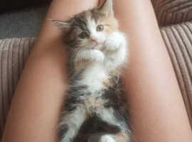 Calico Kitten For Sale - Female
