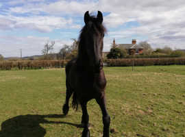 Friesian Horses For Sale in Bradford | Find Horses & Ponies at