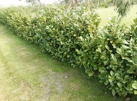 Laurel hedging