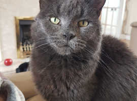 Lost cat on the 26th july at tredegar house newport she is grey and wearing a red collar