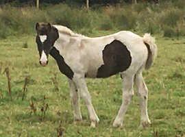American Paint / Cob X Foal
