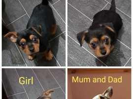 Chorkie, Puppy, Dog
