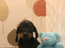Miniature Dachshund boy ready now
