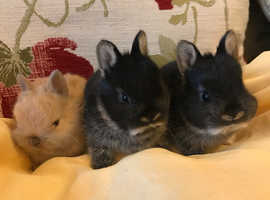 Pure Netherland rabbits for sale