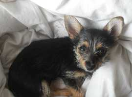 Desperately wanted adult Chorkie needing a home