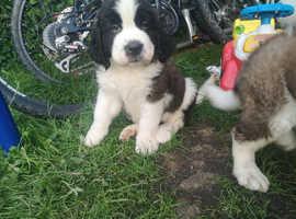 Beautiful St bernard puppy