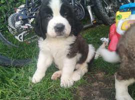 Beautiful Saint Bernard puppy