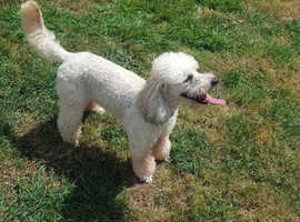 Cream sable toy poodle for stud