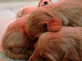 Adorable Miniature Goldendoodle puppies