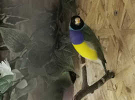 pair breeding gouldian finches