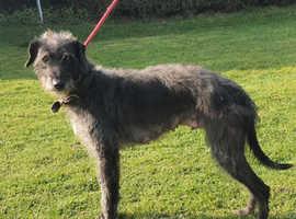Bedlington X Greyhound puppy Last boy