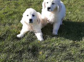 1 girl left only now kc reg golden retrievers puppies for sale