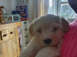 Beautiful havanese puppies all white and cream