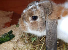 Female adult rabbit and large indoor cage for sale
