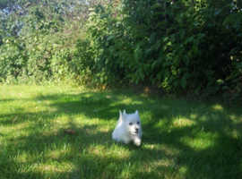 Inquisitive, gorgeous westhighland terrier pups for sale