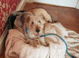 KC Fox Terrier puppies