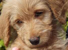 Beautifull Labradoodle puppies