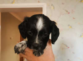 Gorgeous sprocker pups. Only 5 left from a litter of 12!
