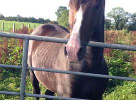 10 YO Stallion by Luidam For Sale