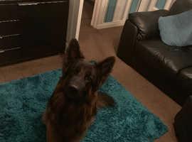 German Shepard dog for stud