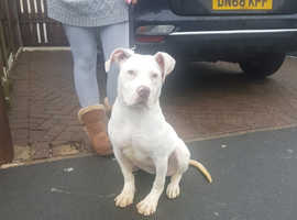 6 month old Scott's type American bulldog female