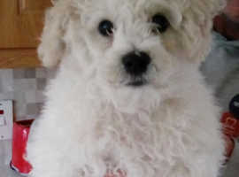 Bichon Frise Dogs & Puppies For Sale & Rehome in Birmingham