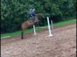 Amazing 15.3 mare
