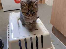 Female tabby kitten