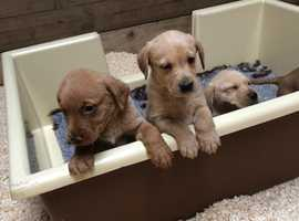 KC Registered Yellow and Fox red lab puppies
