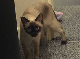 Lovely and adorable Siamese cat looking for a mate