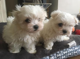 Exceptional Tiny Show Top Quality Maltese Puppies For Caring Homes