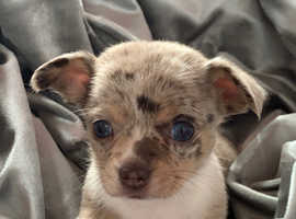 Chihuahua puppy's female