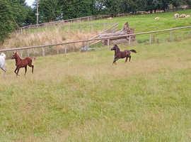 County Standard Welsh A Colt Foal