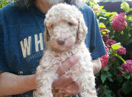 Gorgeous Standard Size Curly Labradoodle Puppies