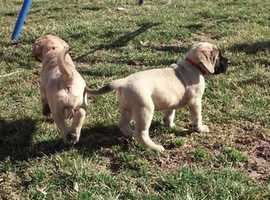 **STUNNING & EXCELLENT FULL PUPS**Two KC Reg Bullmastiff Puppies Ready Now For Sale.