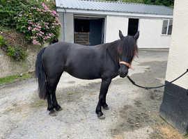 Companion pony