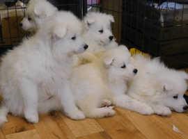 Samoyed puppies stunning litter