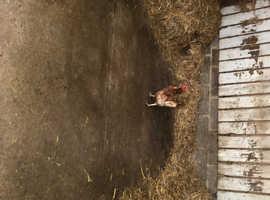 Scruffy hens