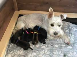 KC Registered Miniature Schnauzer Puppies